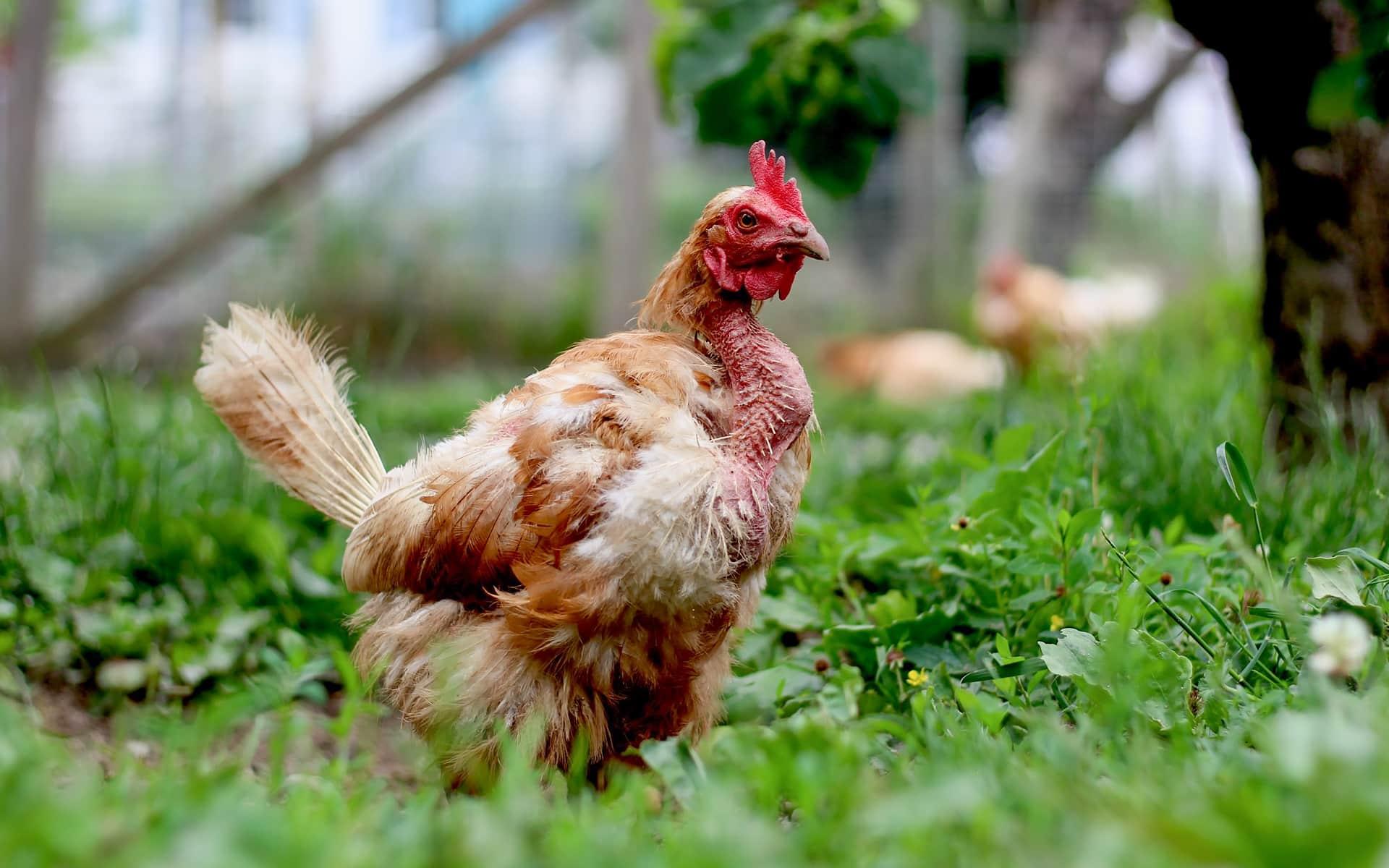 Neue Hühner